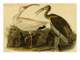 White Ibis Posters by John James Audubon