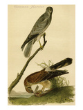 Common Harrier Posters by John James Audubon