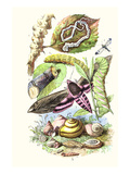 Privet Moth and Caterpillars Posters af James Sowerby