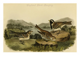 Lapland Lark Bunting Prints by John James Audubon