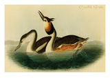 Crested Grebe Prints by John James Audubon