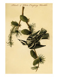 Black and White Creeping Warbler Print by John James Audubon