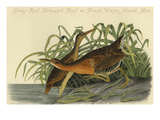 Great Red Breasted Rail or Frash Water Marsh Hen Print by John James Audubon