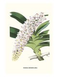 Orchid Prints by Louis Van Houtte