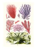 Seaweeds Green Laver Poster af James Sowerby