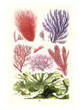 Seaweeds Green Laver Poster by James Sowerby