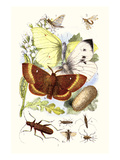 May-Fly, Brimstone Butterfly, Musk Beetle, Nut Weevil Prints by James Sowerby
