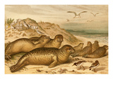 Seals Prints by F.W. Kuhnert