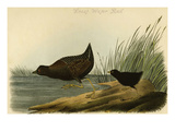 Least Water Rail Posters by John James Audubon