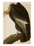California Vulture Art by John James Audubon