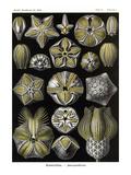 Echinoderms Print by Ernst Haeckel