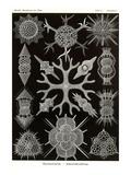 Spumellaria Posters by Ernst Haeckel
