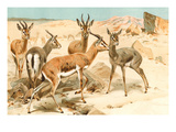 Gazelles Prints by F.W. Kuhnert