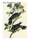 Band Tailed Dove or Pigeon Prints by John James Audubon