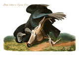 Black Vulture or Carrion Crow Prints by John James Audubon
