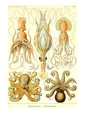 Cephlopods Poster by Ernst Haeckel