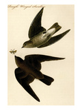 Rough Winged Swallow Prints by John James Audubon