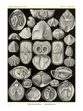 Spirobranchia or Fanworms Prints by Ernst Haeckel