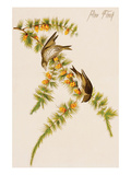 Pine Finch Premium Giclee Print by John James Audubon