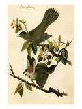 Cat Bird Affiches par John James Audubon