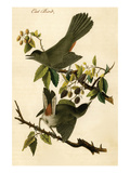 Cat Bird Print by John James Audubon