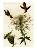 Rough Throated Hummingbird Prints by John James Audubon