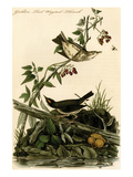 Golden Tail Wagtail Thrush Print by John James Audubon