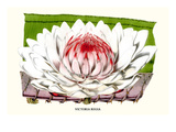 Lotus Flower - Water Lily Poster von Louis Van Houtte