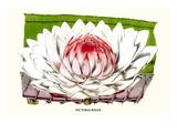 Lotus Flower - Water Lily Poster von Louis Van Houtte