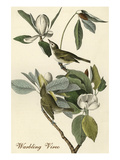 Warbling Vireo Prints by John James Audubon