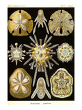 Echinoderms Prints by Ernst Haeckel
