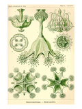 Stalked Jellyfish Posters by Ernst Haeckel
