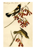 Wandering Rice Bird Posters by John James Audubon