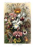 Orkidéer Poster av Ernst Haeckel