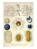 Coelodendrum Gracillimum, Collozoum, C. Pelagicum, C. Coeruleum, Rhaphidozoum Prints by Ernst Haeckel