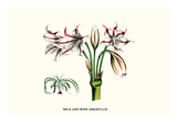 Milk and Wine Amaryllis Print by Louis Van Houtte