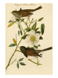 Oregon Snow Bird Prints by John James Audubon