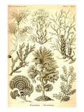 Havsväxter Affischer av Ernst Haeckel
