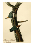 Brown Headed Nuthatch Print by John James Audubon