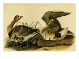 White Fronted Goose Posters by John James Audubon