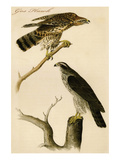 Gos Hawk Prints by John James Audubon