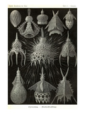 Radiolaria Prints by Ernst Haeckel