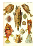 Boxfish Posters by Ernst Haeckel