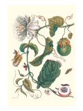 Passion Flower with Leaf-Footed Plant Bug Premium Giclee Print by Maria Sibylla Merian