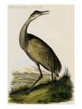 Whooping Crane Prints by John James Audubon