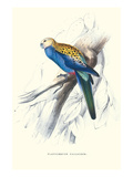 Pale-Headed Parakeet - Platycercus Adscitus Foto von Edward Lear