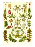 Liver Warts Affischer av Ernst Haeckel
