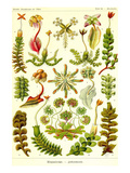 Liver Warts Posters av Ernst Haeckel