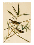 Solitary Fly Catcher or Vireo Prints by John James Audubon