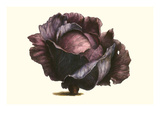 Purple Cabbage Prints by Philippe-Victoire Leveque de Vilmorin